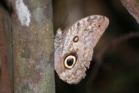 Caligo butterfly