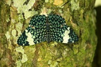 Hamadryas amphinome butterfly